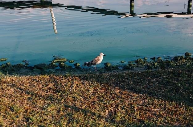 Pássaro gaivota em pé perto da água com reflexos