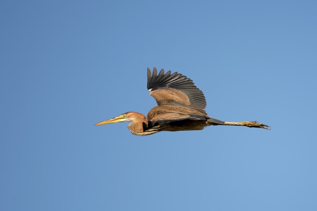 Pássaro garça roxa voando no céu azul