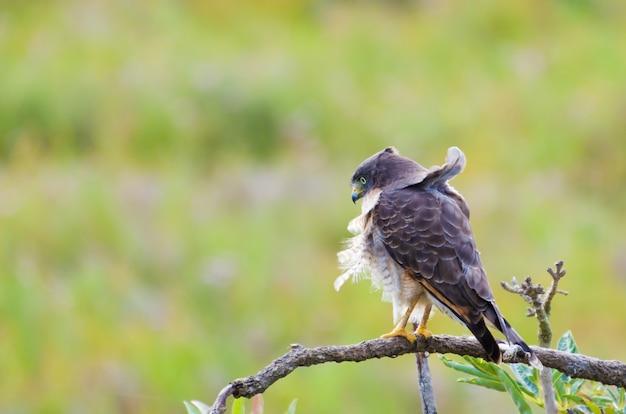 Pássaro gavião em árvore no pantanal brasileiro