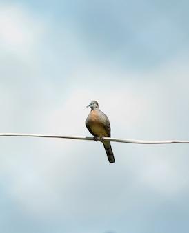 Pássaro geopelia