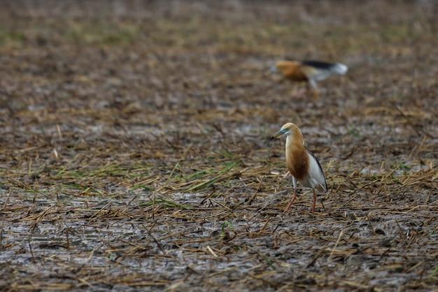 Pássaro grande branco à procura de comida em um arrozal no sudeste da ásia.