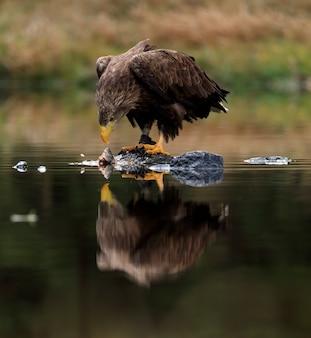 Pássaro grande de rapina eagle atado branco com os peixes da captura que sentam-se na rocha na água.