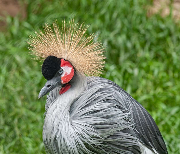 Pássaro guindaste coroado cinza