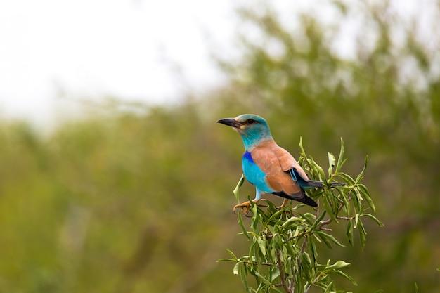 Pássaro indígena colorido, sentado em um galho
