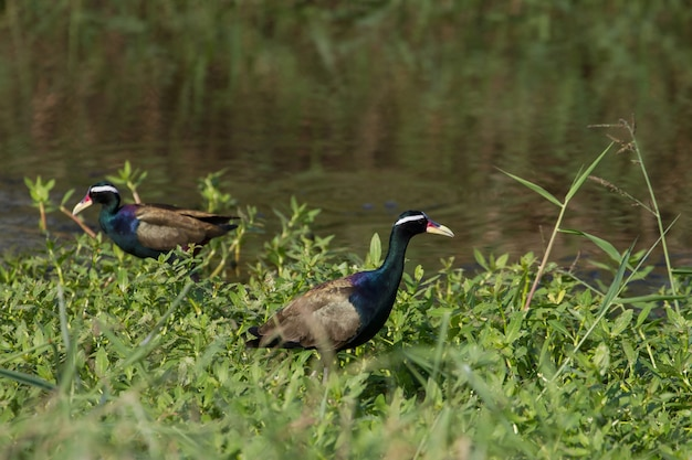 Pássaro jacana-de-asa-de-bronze andando na natureza