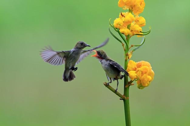 Pássaro kemande dicaeum trochileum alimenta seu jovem pássaro kemande dicaeum trochileum voando alimenta