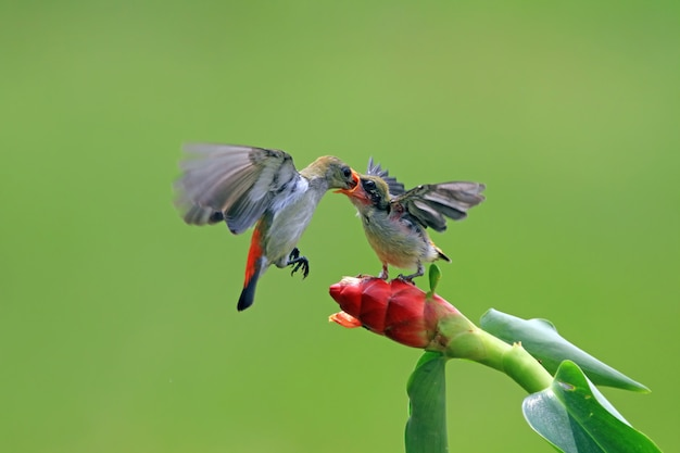 Pássaro kemande dicaeum trochileum alimenta seus filhotes