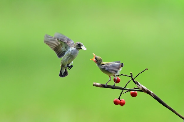 Pássaro kemande (dicaeum trochileum) alimenta seus filhotes