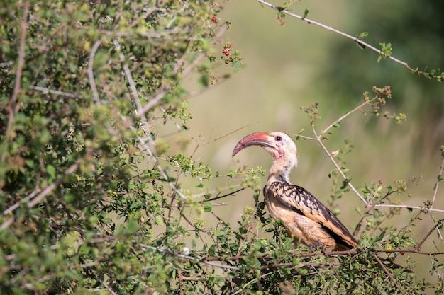 Pássaro local do quênia em um arbusto verde