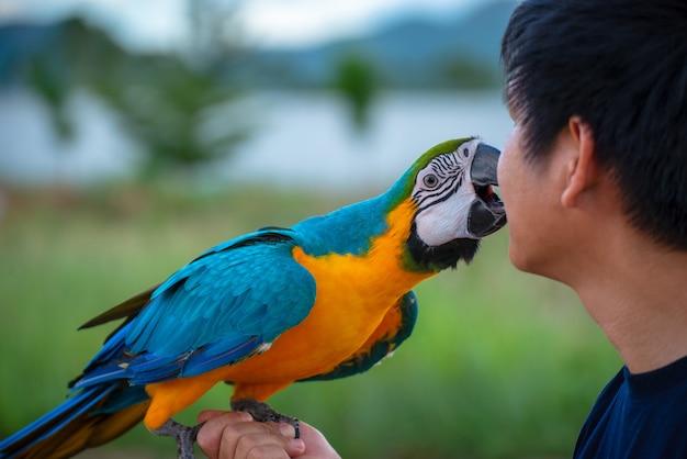 Pássaro macore papagaio bonito do pássaro que joga com cuidado do animal de estimação em suas mãos.