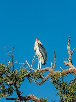 Pássaro marabu sentado em um galho contra o céu azul quênia