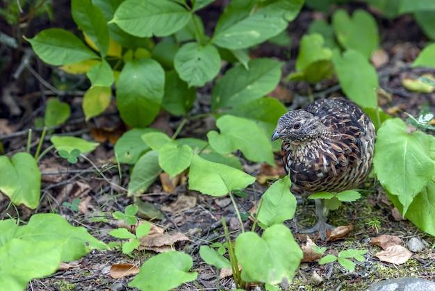 Pássaro marrom e preto parado no solo cercado por muitas folhas verdes
