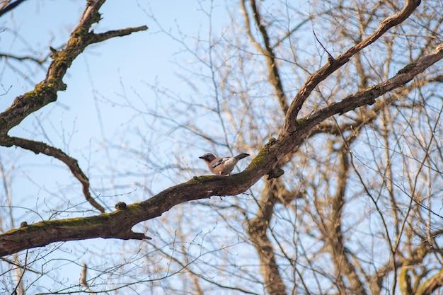 Pássaro marrom em um galho, pássaros cantando na primavera