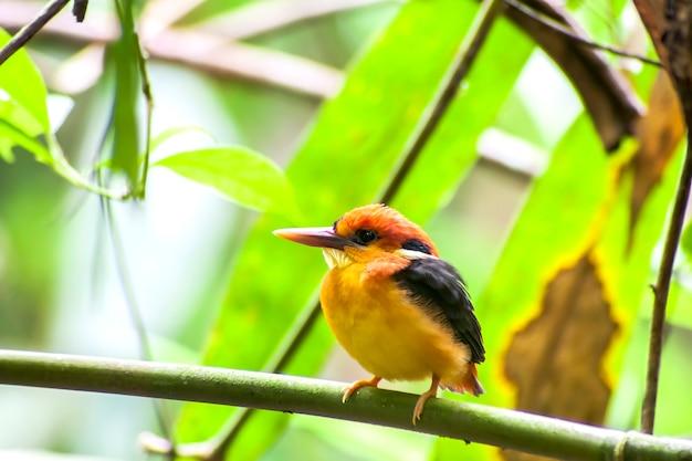 Pássaro, martim-pescador com fundo preto (martim-pescador anão oriental) ou martim-pescador com três dedos