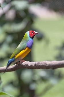 Pássaro multicolorido