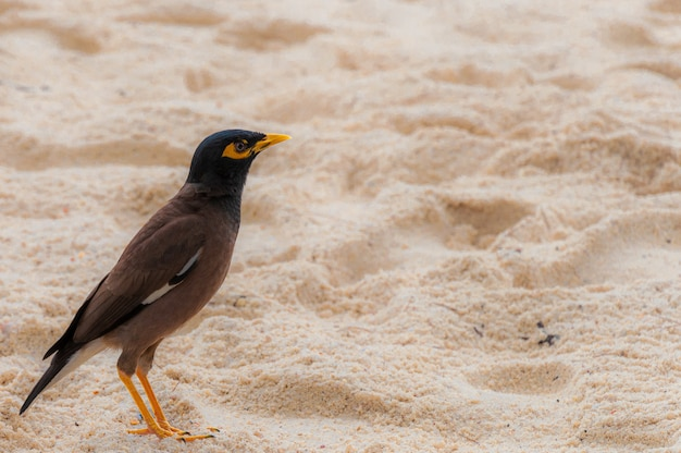 Pássaro myna solitário em uma área arenosa