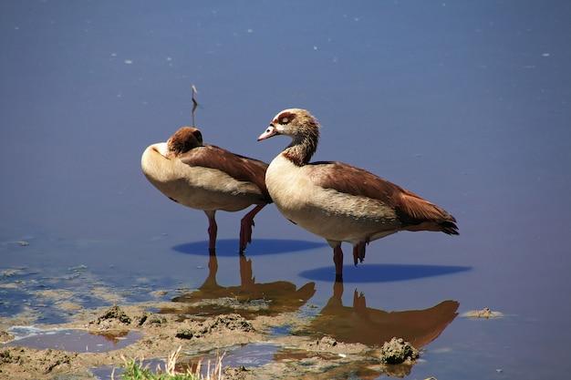Pássaro no safari no quênia e na tanzânia, áfrica
