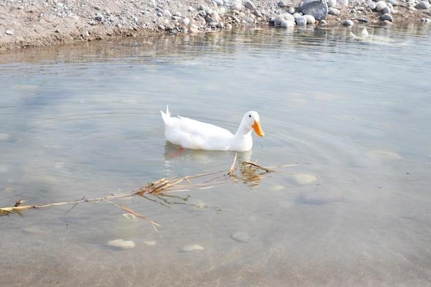 Pássaro. o pato branco nada na água