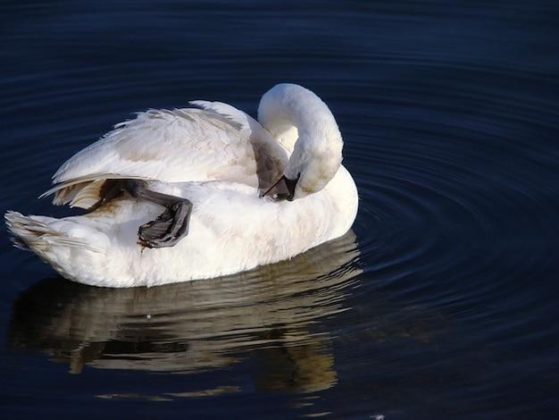 Pássaro olor cygnus pato cisne
