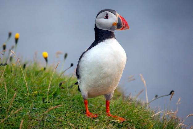 Pássaro paffin na grama na islândia