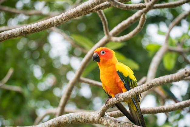 Pássaro papagaio-do-sol no galho de árvore
