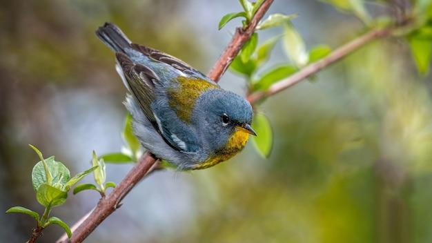 Pássaro parula do norte em galho