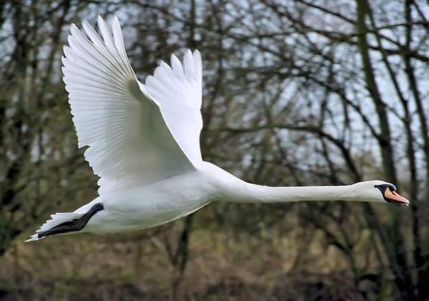 Pássaro pato asa da mosca cygnus olor cisne