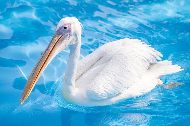 Pássaro pelicano branco com bico longo amarelo nadando na piscina de água, close-up