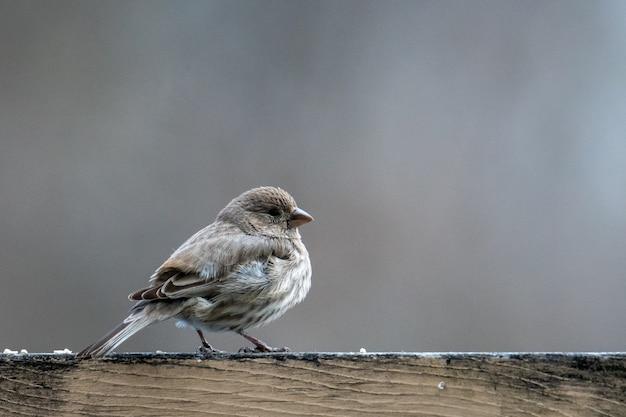 Pássaro pequeno com penas cinzentas em uma superfície de madeira