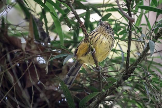 Pássaro pequeno e inquieto em busca de alimento dentro da floresta de talhadia