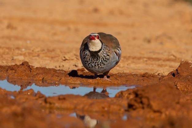 Pássaro perdiz de patas vermelhas parado perto de um lago no deserto
