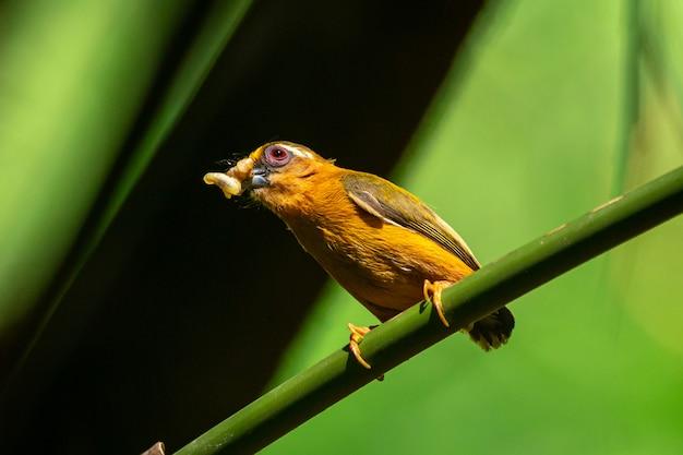 Pássaro pica-pau-de-sobrancelha branca no parque nacional kaeng krachan, tailândia