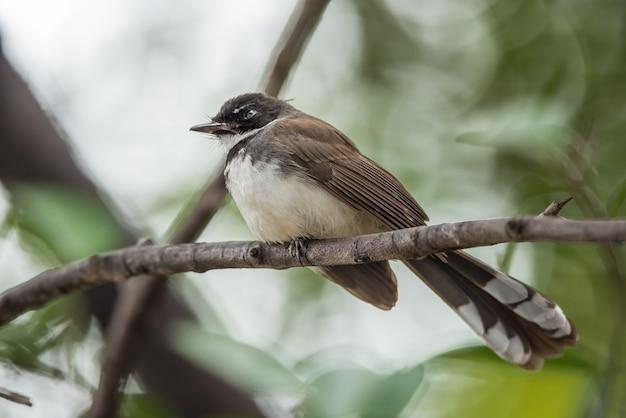 Pássaro (pied fantail flycatcher, rhipidura javanica) cor preta