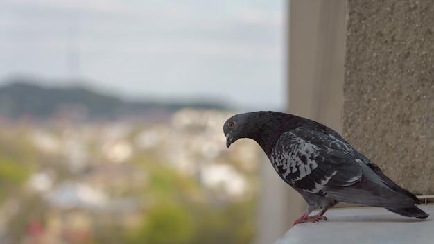 Pássaro pombo em pé no peitoril da janela e olhando para a câmera