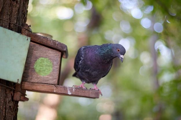 Pássaro pombo sentado em uma casa de pau com alimentador de pássaros