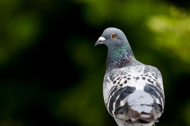 Pássaro pombo