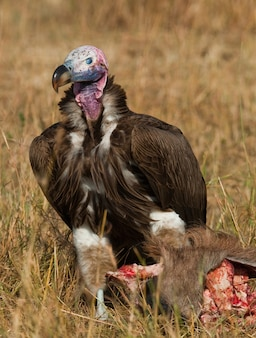 Pássaro predatório está comendo presas na savana quênia tanzânia safari áfrica oriental