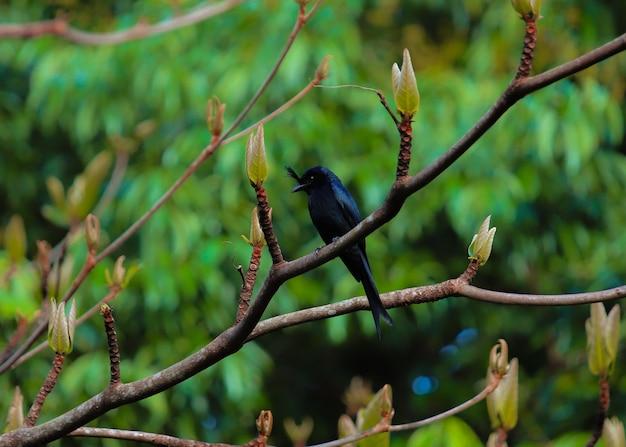 Pássaro preto de madagascar em uma árvore