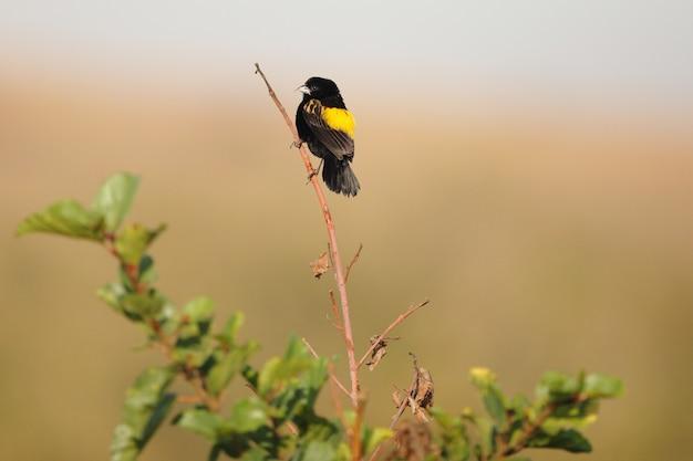 Pássaro preto exótico, sentado em um pequeno galho