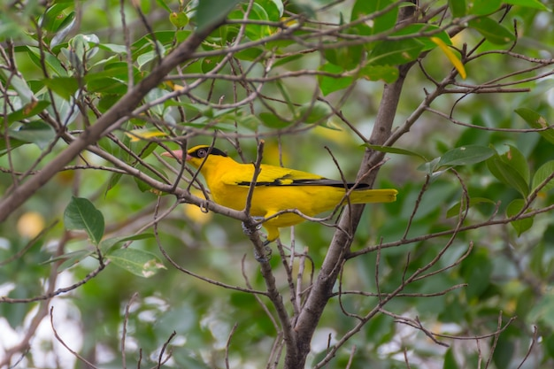 Pássaro (preto-naped oriole, oriolus chinensi) cor amarela no cimo de uma árvore no jardim