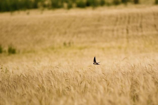 Pássaro rápido voando sobre o trigo
