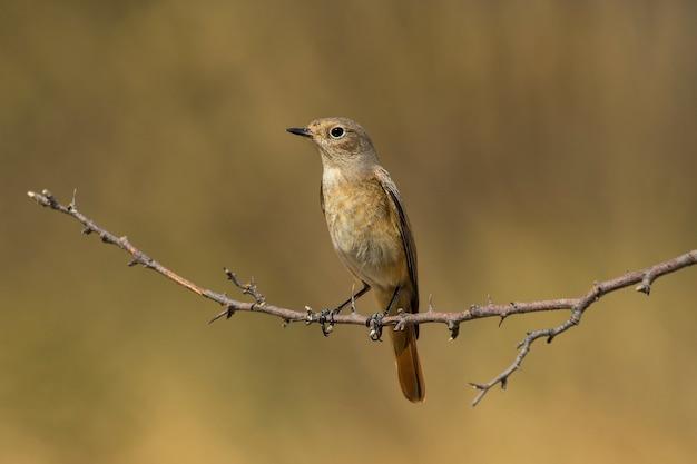 Pássaro redstart comum no galho com calor