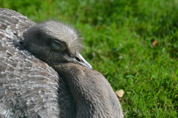 Pássaro rhea com os olhos fechados ao sol quente.