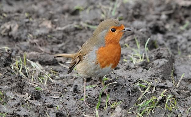 Pássaro robin redbreast parado no solo lamacento, olhando ao redor com curiosidade