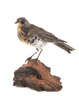 Pássaro sabiá