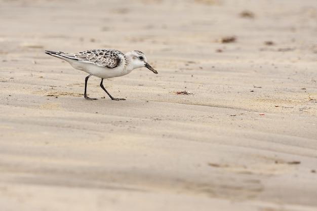 Pássaro sanderlings à procura de comida na praia durante o dia - calidris alba