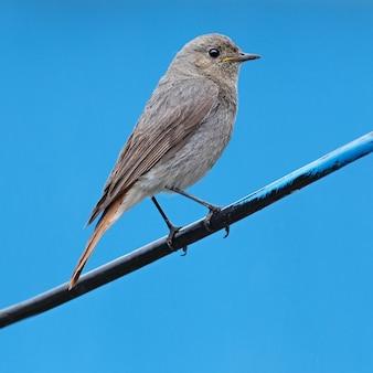 Pássaro selvagem adulto fotografado de perto. ruticila
