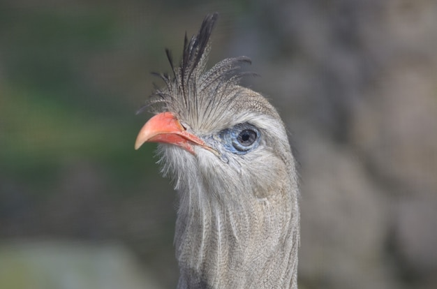 Pássaro seriema com penas em pé e bico laranja