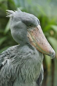 Pássaro shoebill pré-histórico majestoso