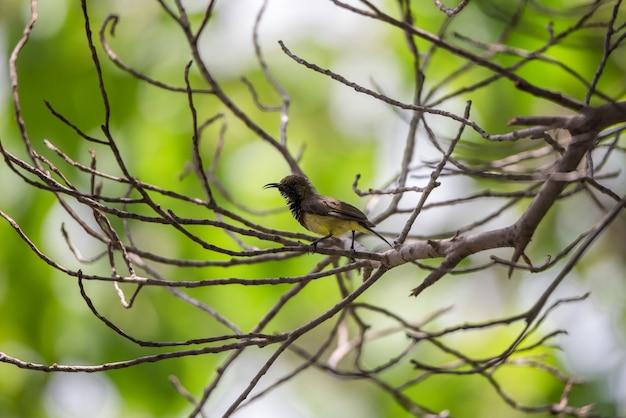 Pássaro (sunbird azeitona-suportada, sunbird amarelo-inchado) cor amarela masculina